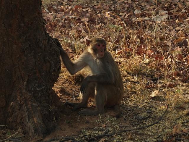 Rhesus macaque in Bandhavgarh